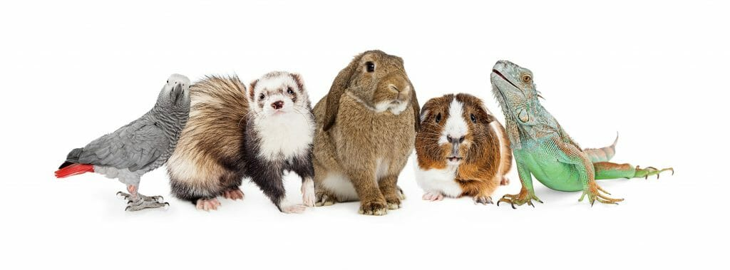 Exotic Pets Bird Ferret Rabbit Guinea Pig and Lizard