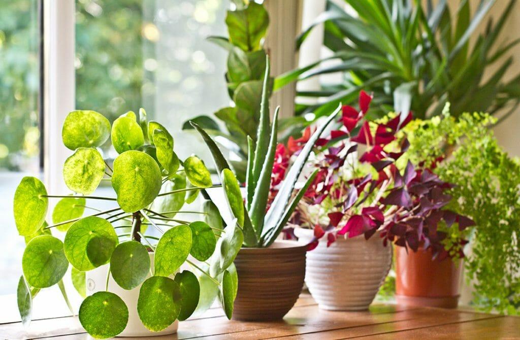 houseplants on windowsill in front of window