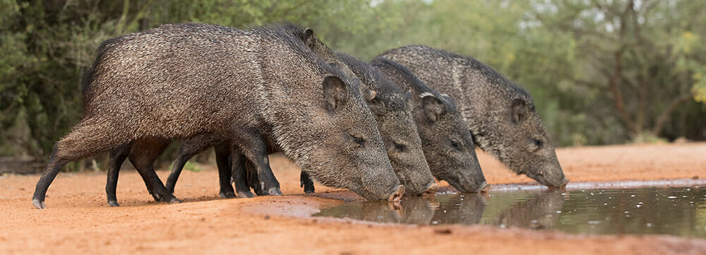 Javelina Wild Pigs drinking from a watering hold outside phoenix arizona